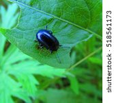 Small photo of Agelastica alni, the alder leaf beetle