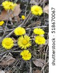 Coltsfoot Flowering Among...