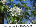Springtime Pear Tree Blossoms...