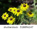 "Small photo of ""Children of the sun"". Flowers similar to big yellow camomiles amicably blossoming in a garden. Flower vegetable background horizontally. Rudbeckia. Asteraceae family. Close up. Macro. Side."