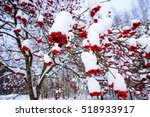Small photo of Branch with bunches of rowan berries under snow in the winter. A beautiful red and white winter background. Sorbus aucuparia is commonly known as rowan, mountain-ash, quickbeam, or rowan-berry.Finland