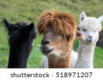 Alpaca Brown Black White ...