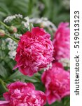 Small photo of Composition From The Blossoming Pink Crimson Peonies With White Flowers Of A Goutweed. Vertically Flower Vegetable Background. Paeonia. Paeoniaceae family.Aegopodium.Close up. Macro.