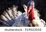 White turkey outdoors