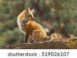 female red fox in the morning... | Shutterstock . vector #519026107