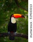 toco toucan  big bird with...   Shutterstock . vector #519033313