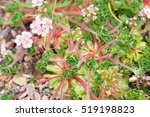 Small photo of Androsace sempervivoides green and pink little flowers