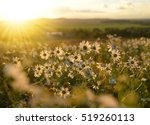 Marguerites On Meadow At Sunse...