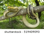 Small photo of Aesculapian snake (Zamenis longissimus) knotted on a branch of a tree in its natural woody habitat. looking at the camera. wide angle macro. Liguria. Italy.