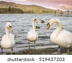 Swans At Lake Windermere ...