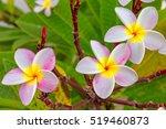 Close Up Plumeria Flower.cute...