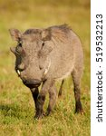 Warthog With Its Snout Covered...