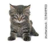 Stock photo maine coon kitten in front of white background 519649903