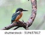 common kingfisher | Shutterstock . vector #519657817