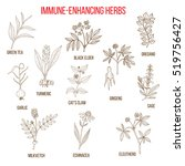 immune enhancing herbs  green... | Shutterstock .eps vector #519756427