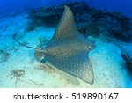 Small photo of Spotted Eagle Ray