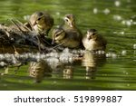 Small photo of Wood Duck babies (Aix sponsa) in spring