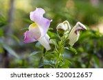 Antirrhinum Majus  Common...