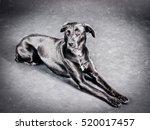 labrador mixed breed   | Shutterstock . vector #520017457