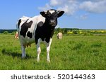 cow on a summer pasture | Shutterstock . vector #520144363