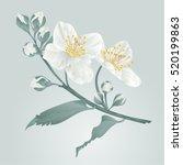 twig jasmine flower and buds... | Shutterstock .eps vector #520199863