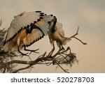 African Sacred Ibis ...