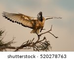 Close Up African Sacred Ibis ...