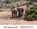 Elephants Playing In The Mud...