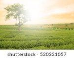 The Tea Crop And The Big Tree...