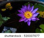 Violet Lotus Flower   Mobile...