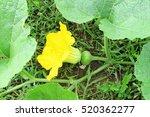 Female Pumpkin Flower With...