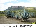 agave tequila landscape to...   Shutterstock . vector #520476703