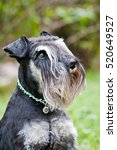 Portrait Of Miniature Schnauze...