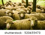 Grazing Sheep In A Field