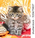 Stock photo sweet kitten of siberian breed brown version on a coloured blanket 520675837