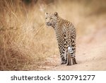 leopard looking back in the... | Shutterstock . vector #520791277