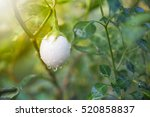 white eggplant on the tree | Shutterstock . vector #520858837