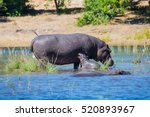 family of hippos in the river.... | Shutterstock . vector #520893967