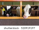 Cute Calves In A Farm Cowshed