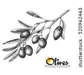 big olive branch sketch vector... | Shutterstock .eps vector #520962463