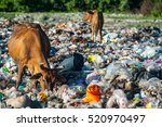 Cows Eat Food On A Garbage Dum...