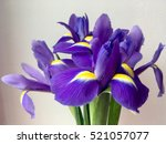 Blooming Iris Flower On A Whit...