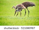 Sandhill crane with juvenile
