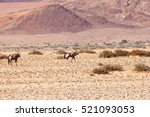 Wild Oryx Gazella Couple In...