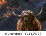 Scotish Bull