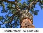 Cork Tree Stripped  Corkwood ...