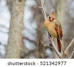 A Female Northern Cardinal...