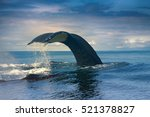 huge hump backed whale ...   Shutterstock . vector #521378827