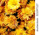 colorful autumnal chrysanthemum ...   Shutterstock . vector #521397127