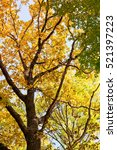 autumn background. tree with...   Shutterstock . vector #521397223